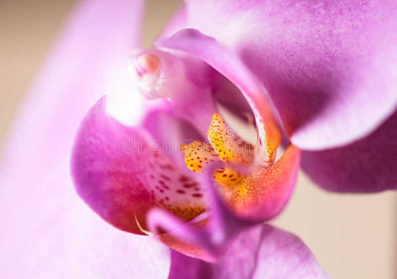 Download Purple orchid stock image. Image of natural, tropical - 35383319