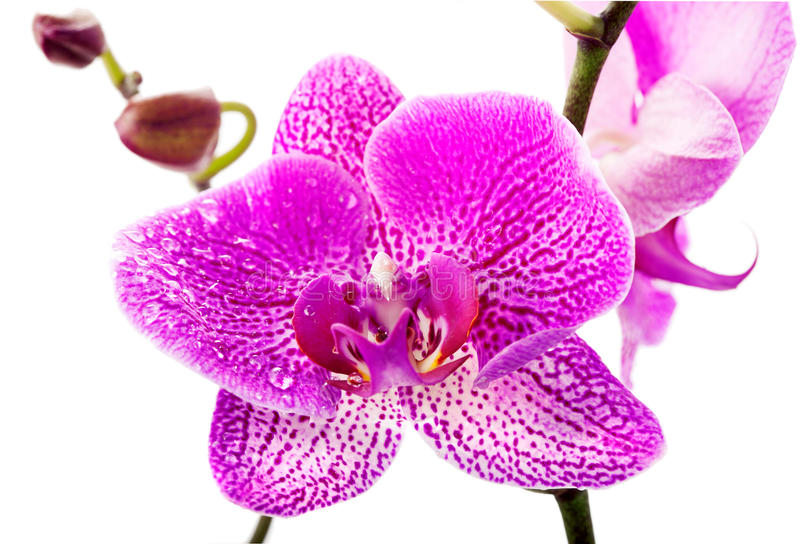 Download Purple orchid flower stock image. Image of plant, purple - 35006663
