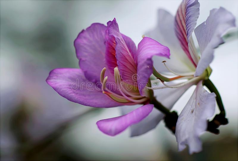 Purple Orchid Flowers royalty free stock photos