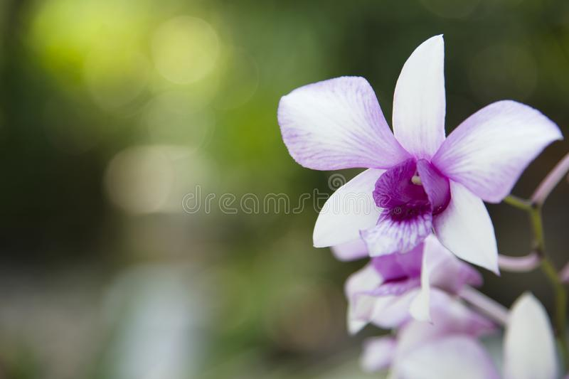 Purple orchid flowers mixed with white. stock images