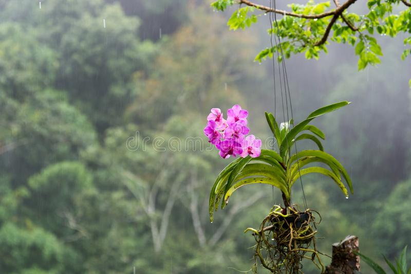 Purple orchid in the rain. Purple orchid hanging from a tree branch with aerial roots protruding from the side of the plant pot and mountain forest background in royalty free stock images