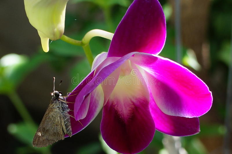 Purple orchid royalty free stock image