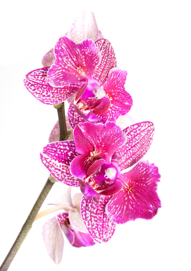 Download Purple Orchid Stock Photo - Image: 31462820