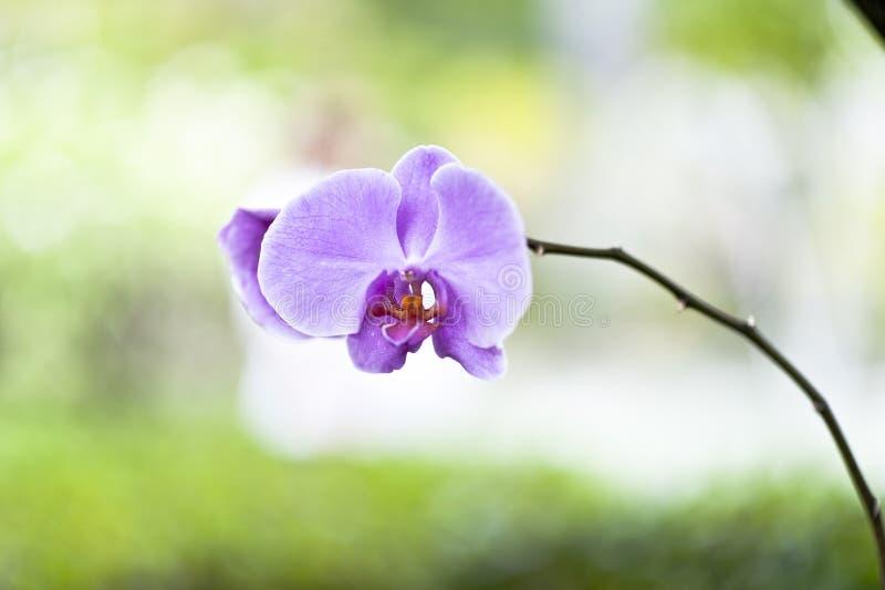 Download Purple Orchid Phalaenopsis Zen Stock Image - Image: 32453631