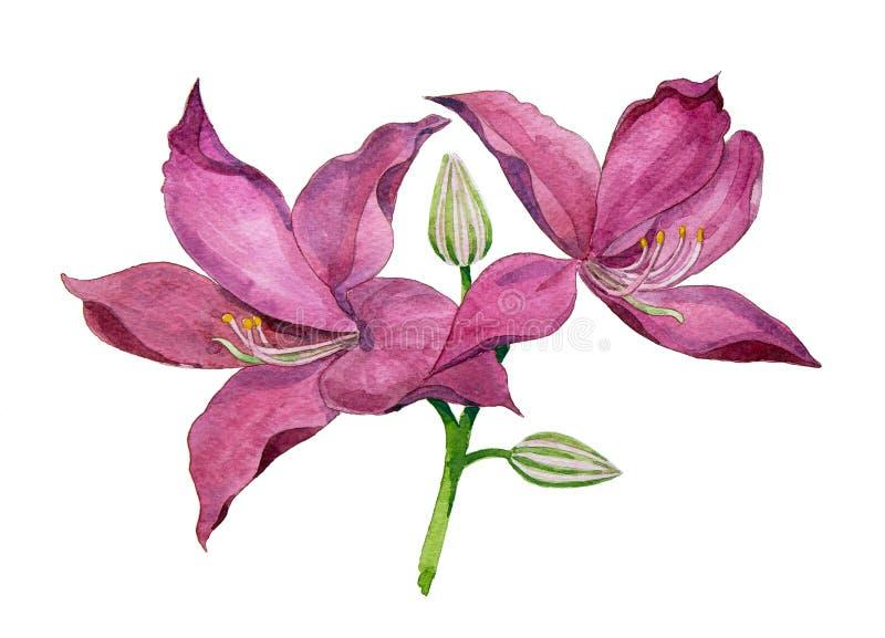 Purple Orchid Tree royalty free illustration