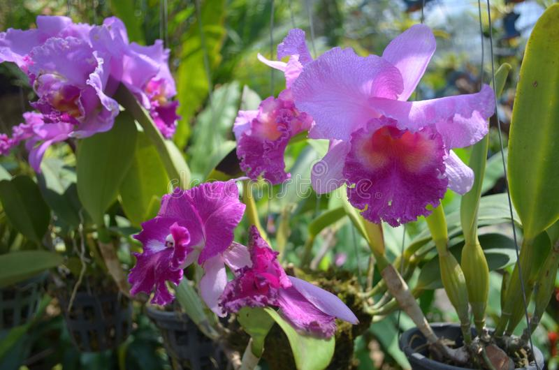 Lilac Orchid in the tropical garden stock photography
