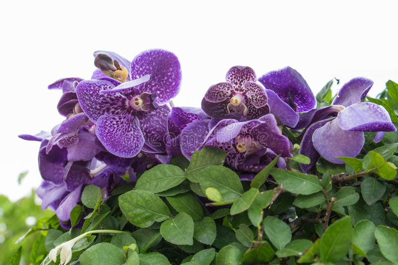 Download Purple orchid stock image. Image of floral, plant, petal - 32508987