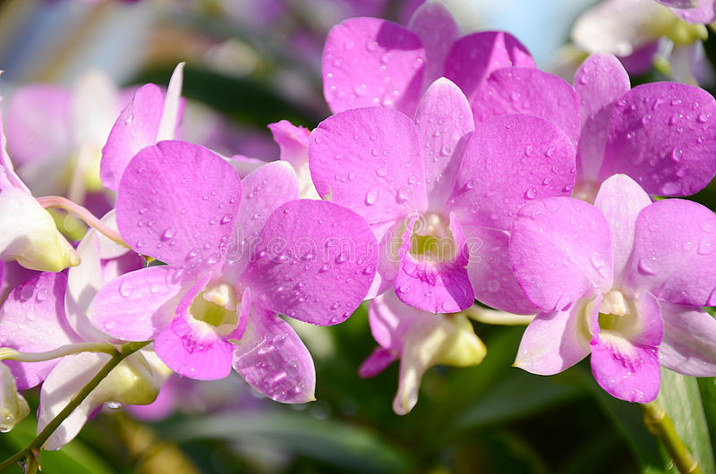 Purple Orchids. Arrangement of purple orchid with water drops stock image