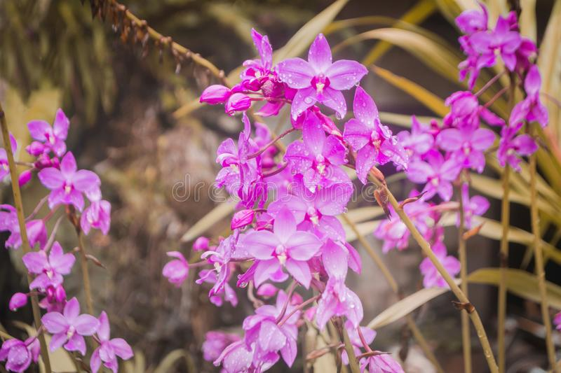 Purple orchids with dew drops fresh nature background stock photography