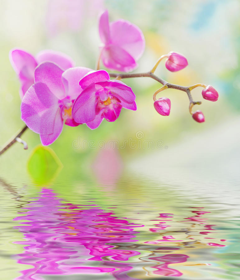 Purple orchids on a nature background. Blossoming branch of purple orchids on a nature background, with reflection in the water surface stock photography
