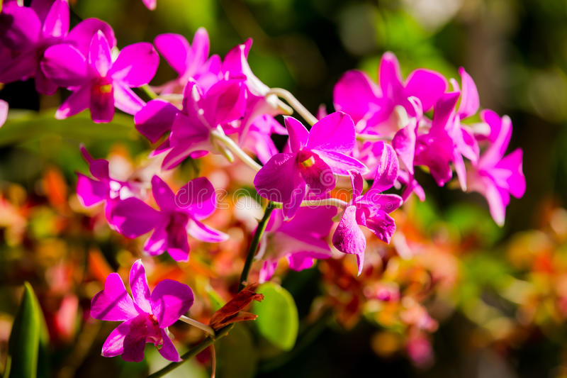 Purple orchids under the sunlight.  royalty free stock photography