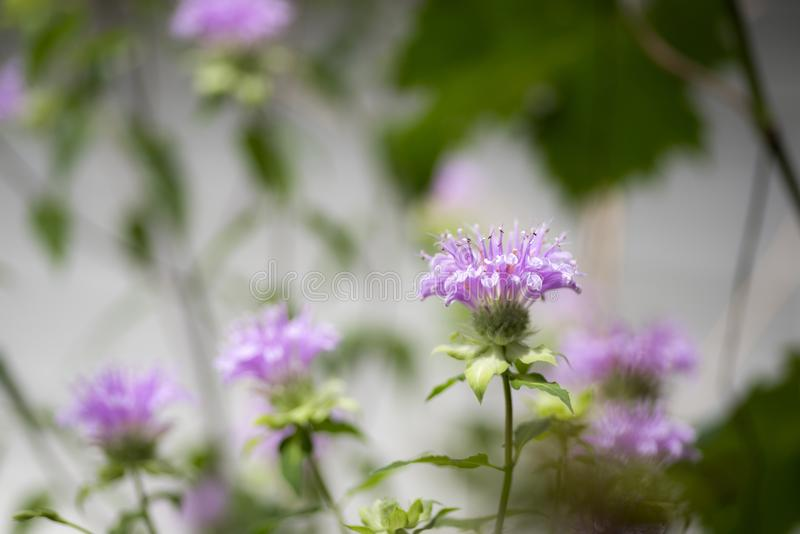 Purple oswego tea flowers. In front of blurred green leaves royalty free stock images