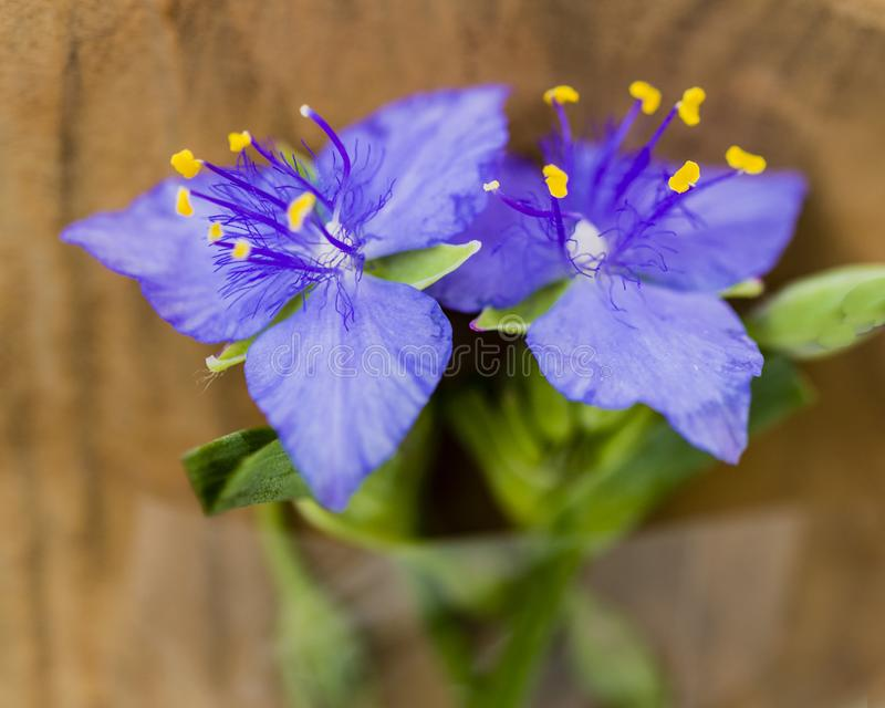 Close up of a two purple wildflowers with yellow stamen royalty free stock image