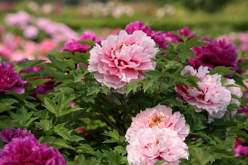 Purple and pale pink Luoyang peony blooms stock photos