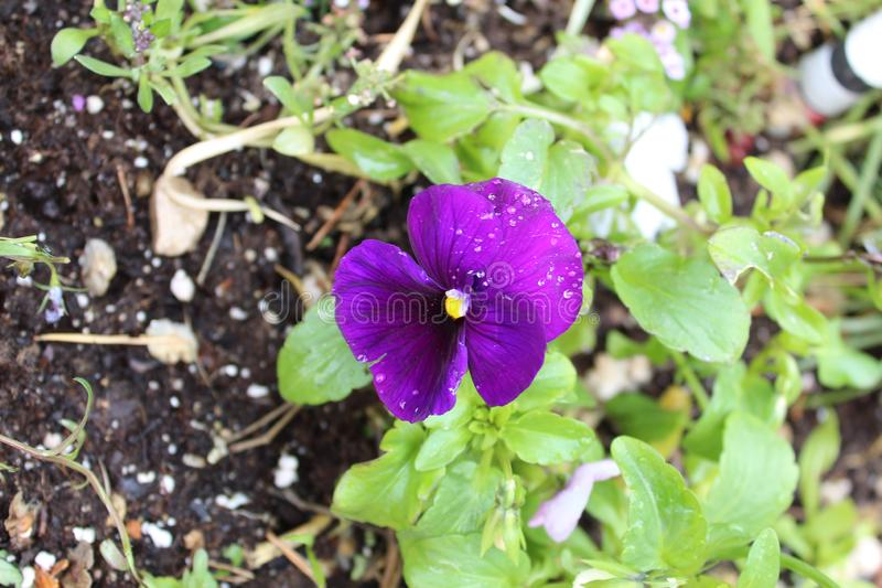 Purple pansy yellow button. With green leafs around dirt in the ground stock photo