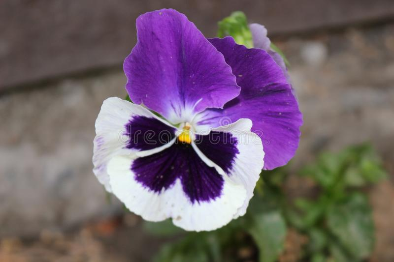 Purple pansies blooms. Her flowers are very bright. Spring royalty free stock image