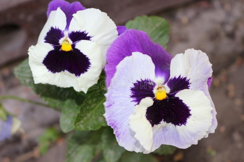Purple pansies blooms. Her flowers are very bright. Spring stock photo