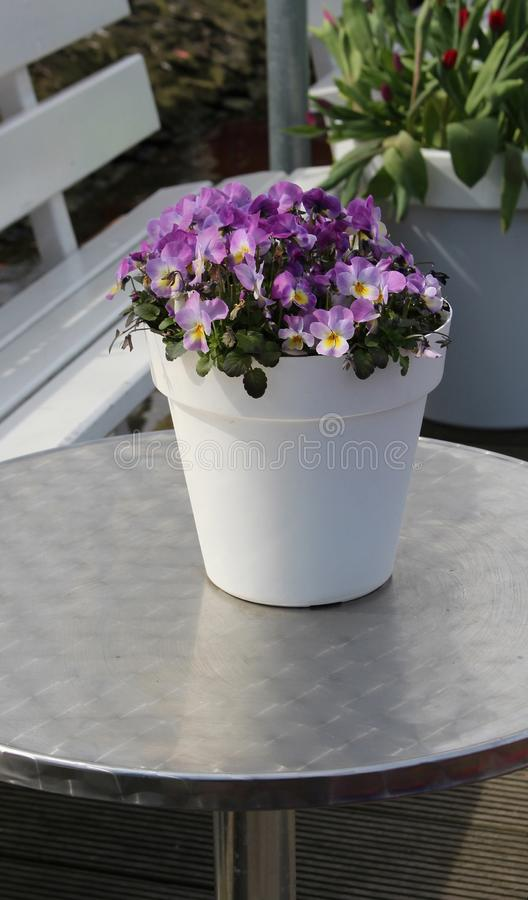 Purple pansies in a pot on a metal table stock photo