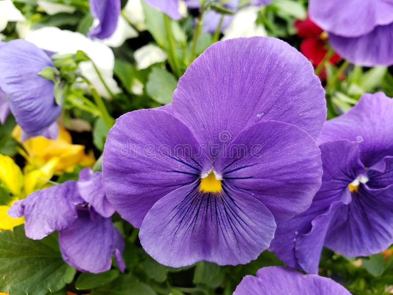 Purple pansy flower in a botanical garden in winter season. Nature and botany, flora and natural life, Viola tricolor hortensis, flower petals with intense royalty free stock image