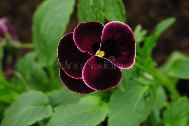 Purple pansy flower or heartsease as background or card. Close up one colorful pansy leaf with burgundy white yellow and violet royalty free stock photography