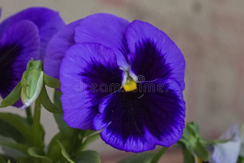 Purple pansy flower royalty free stock photography