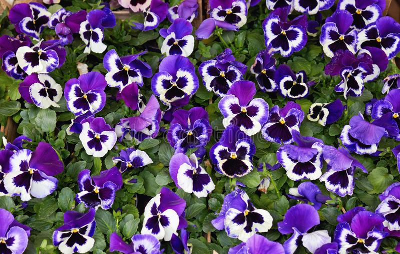 Purple Pansy Flowers. Close-Up Of Purple Pansy Flowers Blooming Outdoors