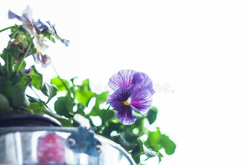 Purple pansy flowers with white blank copyspace area. royalty free stock image