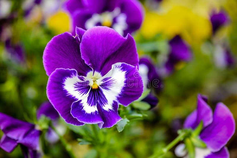 Purple pansy stock photo