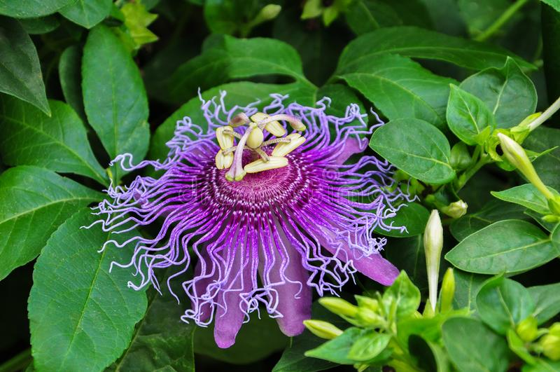 Purple Passiflora flower in the garden with leaves royalty free stock photo