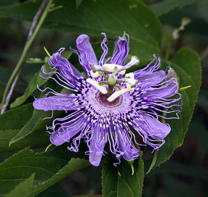 Purple passion flower. Growing in the wild stock photography