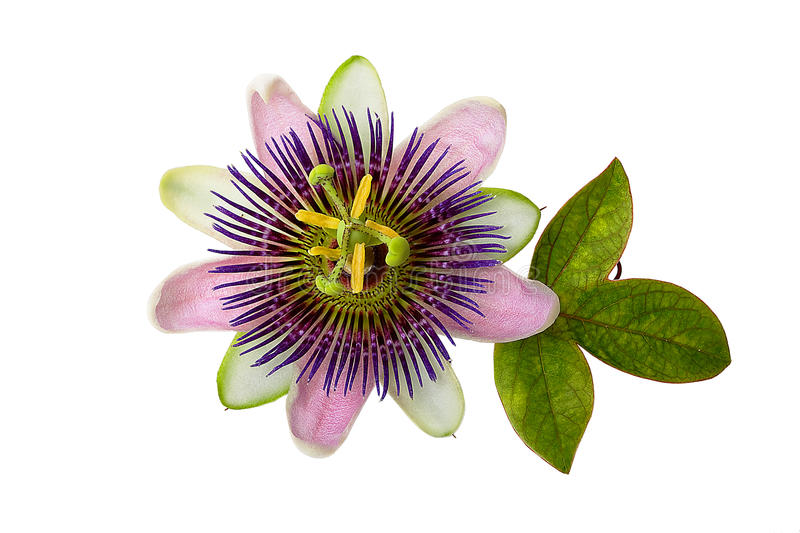 Purple Passion Flower. With leaf, isolated on white royalty free stock photo