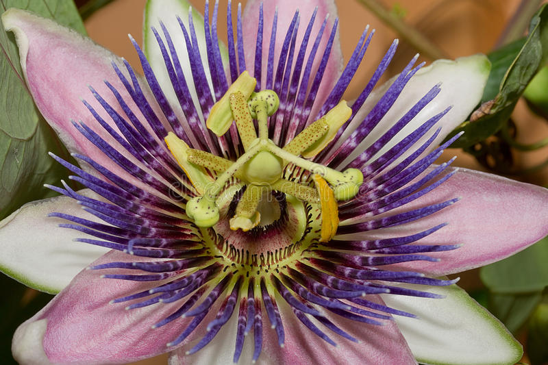 Purple Passion Flower. A macro shot of a Purple Passion flower in bloom stock photography