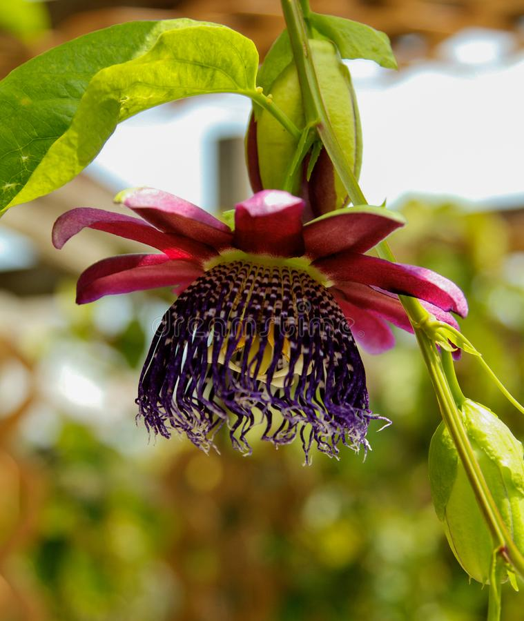 Purple Passion flower royalty free stock image