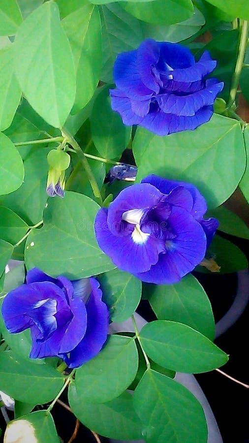 Purple pea royalty free stock image