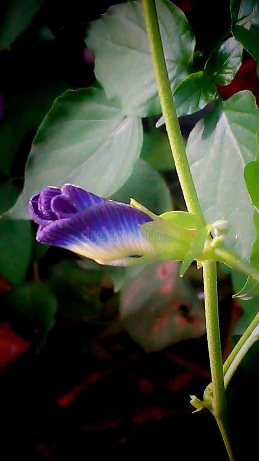 purple pea royalty free stock photo