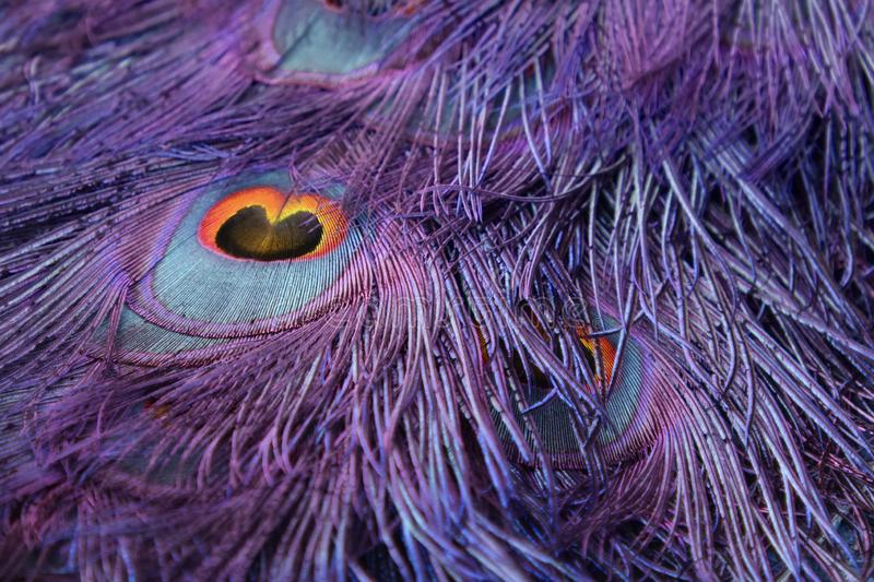 Purple Peacock Tail Wallpaper. A close up of a peacock`s tail finished in purple, blue, orange and yellow stock photography