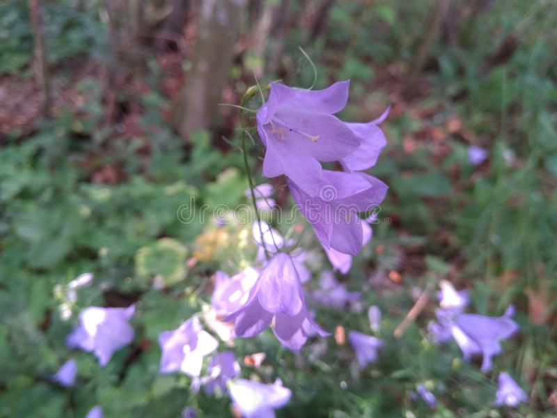 Bellflowers Campanula a perennial herb. A purple, perennial herb bellflower campanula royalty free stock photography
