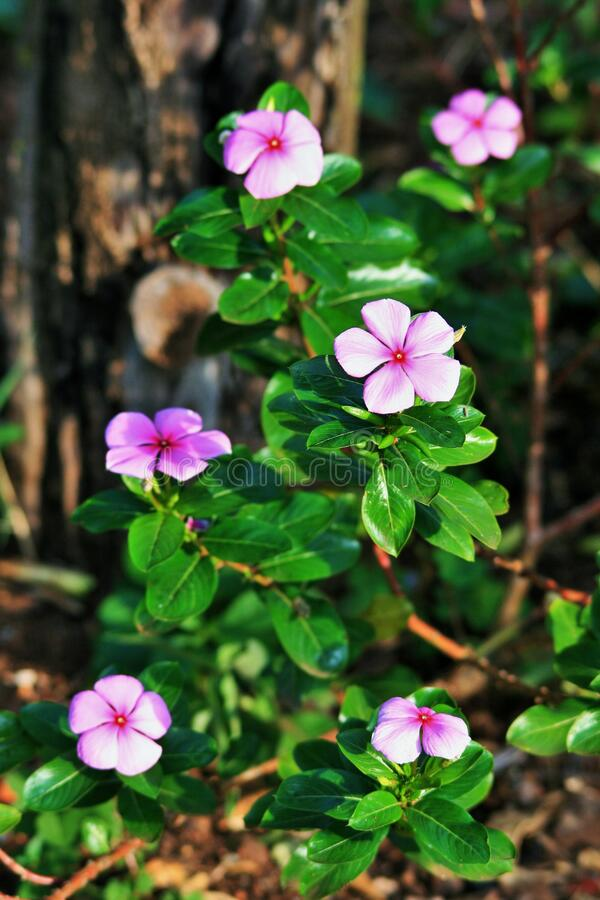 Purple periwinkles in garden stock photography