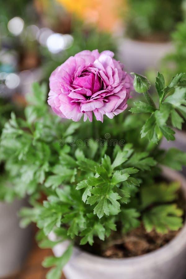 Purple persian buttercup flower or Ranunculus asiaticus in the flowerpot. Vertical. Selective focus. Close-up stock photos