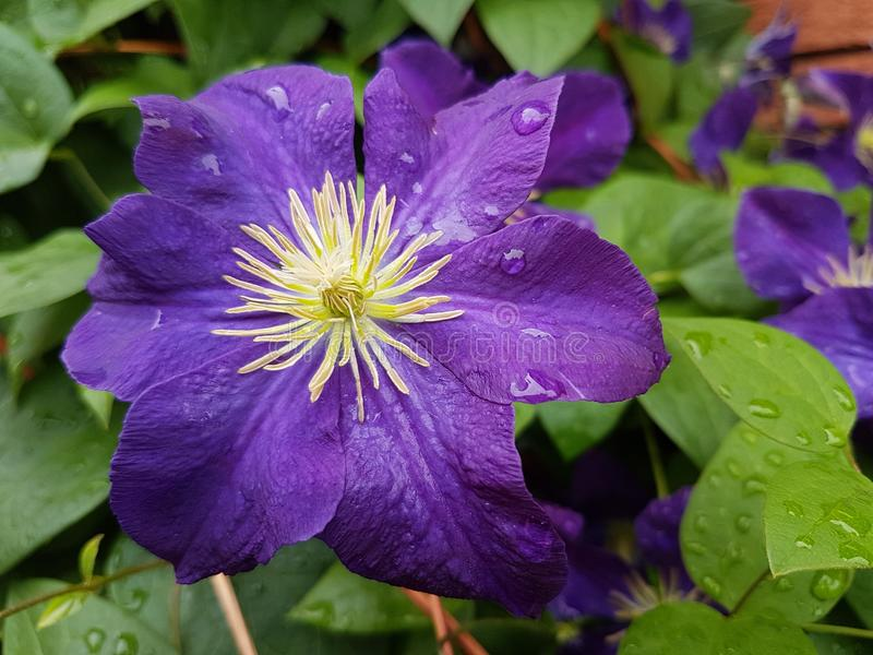 Purple petal flower at home gardens and outside. Of offcies, schools and other areas in the town stock image