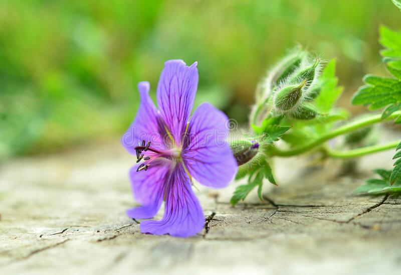Purple Petal Flower Plant in Macro Photo stock photos