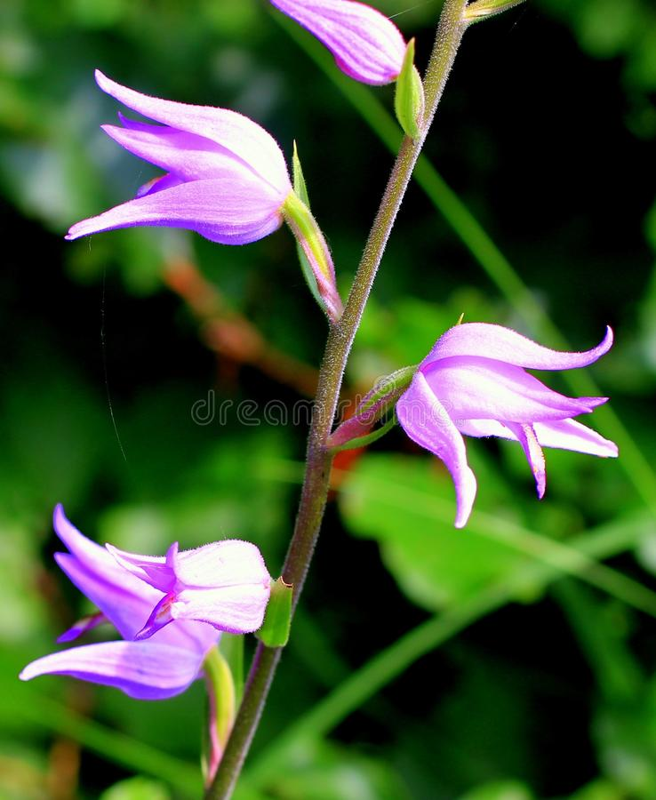 Purple Petal Flower on Stem during Daytime on Selective Focus Photography royalty free stock photo
