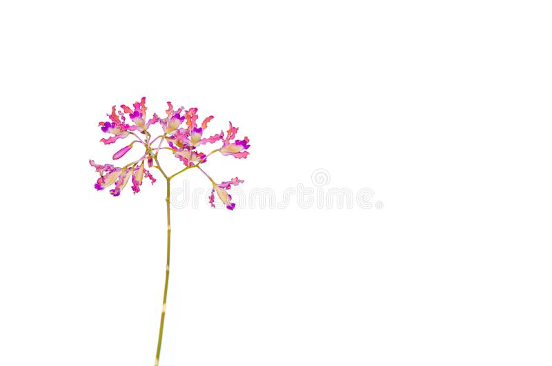 Purple petal wild orchid isolated on white background. vector illustration