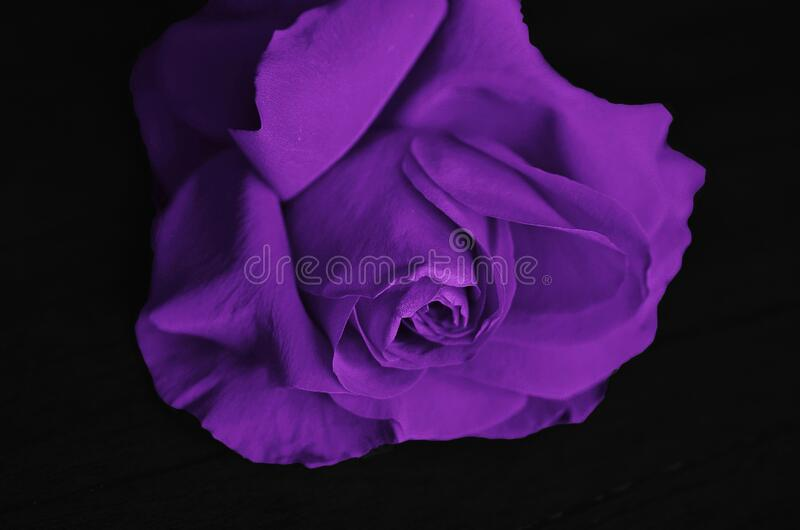Purple Petaled Flower stock photos