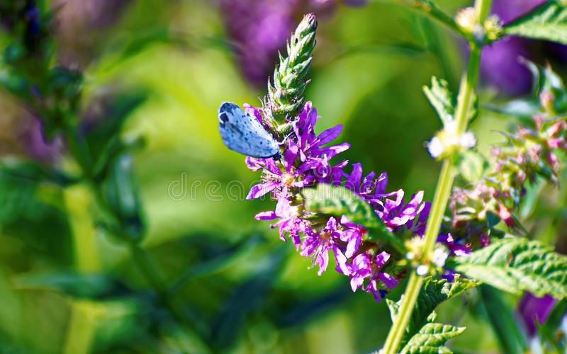Purple Petaled Flower With Blue Butterfly stock photo