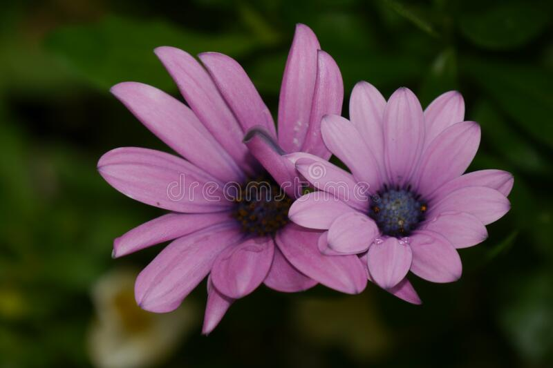2 Purple Petaled Flower in Selective Focus Photography royalty free stock image