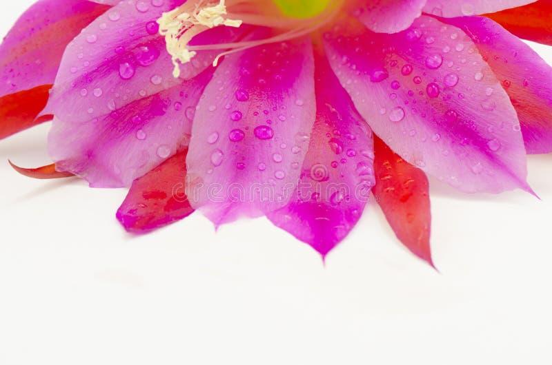 Purple petals royalty free stock photography