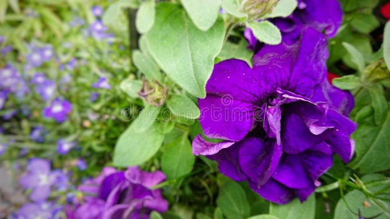 Purple pettle flowers stock photography
