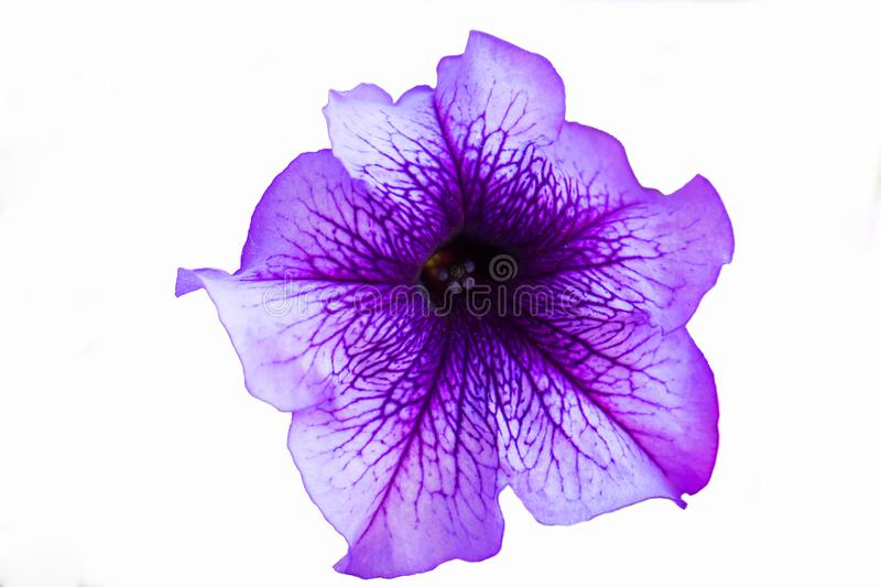 Purple petunia flower close-up. On a white background stock image