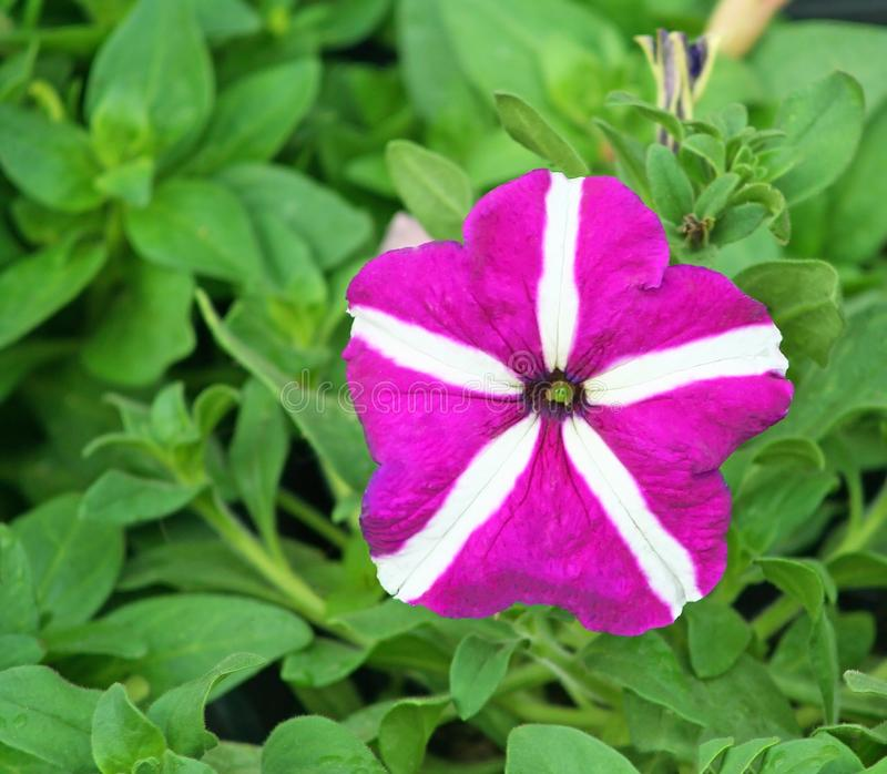 Purple petunia flower on green leaves background royalty free stock images